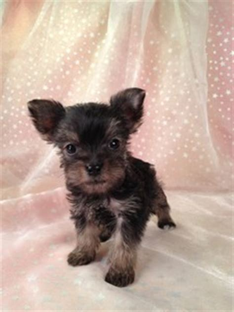 mini yorkie for sale mn click picture to enlarge