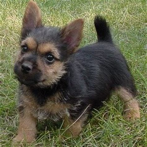 norwich terrier puppies for sale norwich terrier puppies for sale