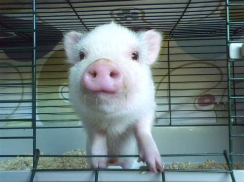 pin baby potbelly pig 250 usd on pinterest