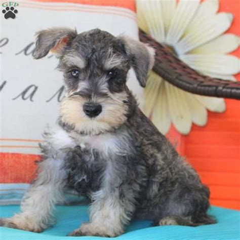 miniature schnauzer puppies for sale in pa dolly schnauzer miniature puppy for sale in pennsylvania