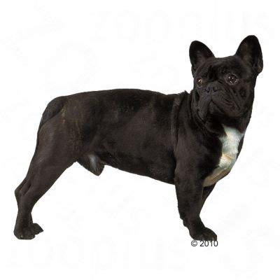 royal canin bulldog puppy royal canin bulldog at zooplus