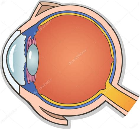 cross section of an eye human eye cross section stock vector 169 izakowski 11857638