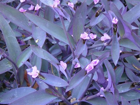 plant with purple flowers garden ally variegated purple