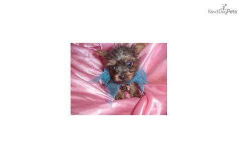 silver yorkies for sale silver teacup yorkie puppies sale book covers