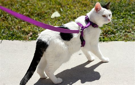 how to leash a how to leash your cat pet health central