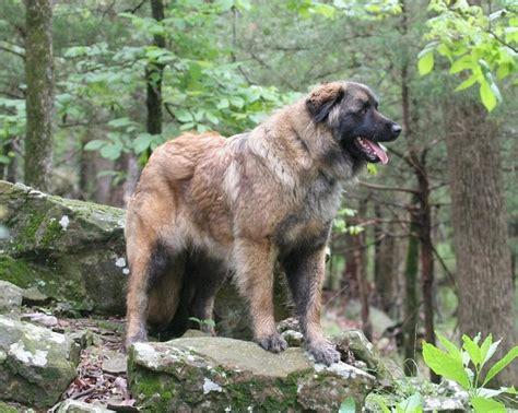 estrela mountain estrela mountain info temperament puppies pictures