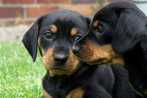 miniature dachshund puppies for sale in missouri dachshund breeders in missouri breeds picture