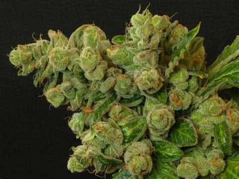 Canapé Pied Bois by Introduction 224 La D 233 Gustation De Cannabis 171 Du