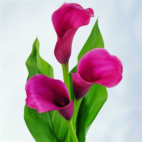 2pcs mixed colour calla lily lilies perennial gardening