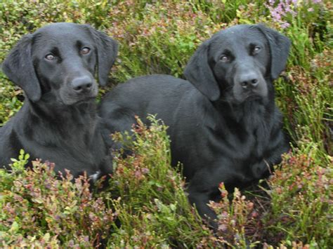 can puppies leave at 6 weeks 2 6 month black lab dogs york pets4homes