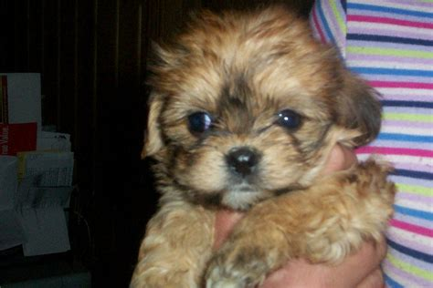 morkie puppies for sale indiana morkie breeders photograph morkie puppies for sale in iowa