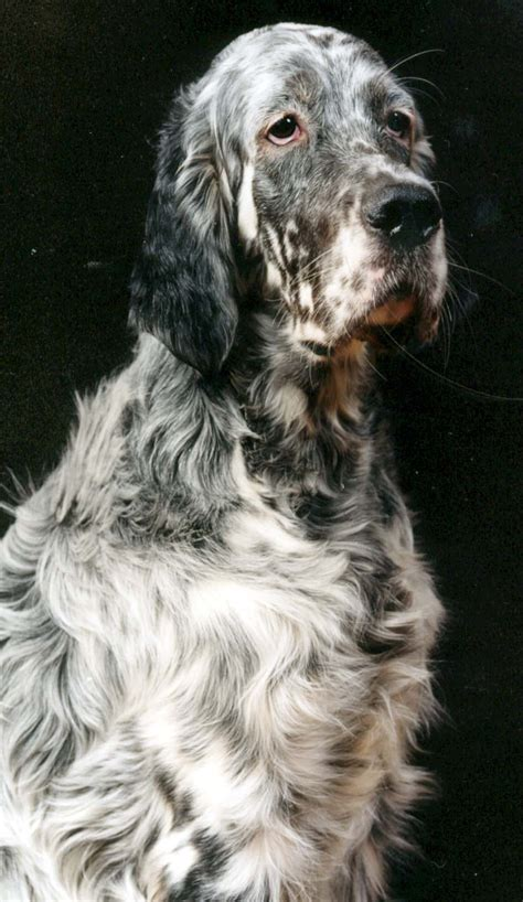 english setter dog images sad english setter dog photo and wallpaper beautiful sad