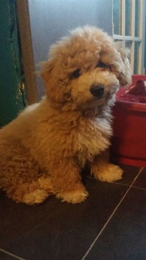 poodle cross lifespan miniature poodle x bichon frise photo