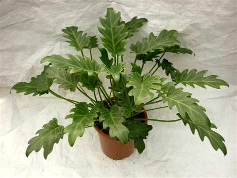 philodendron xanadu flower plant