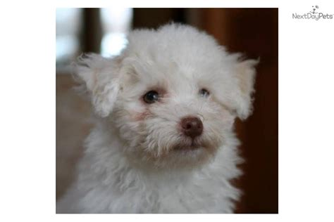 bolognese havanese havanese dogs puppies names breeds and grooming breeds picture