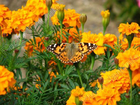 Pupuk Untuk Bunga Marigold bunga marigold cikofairen