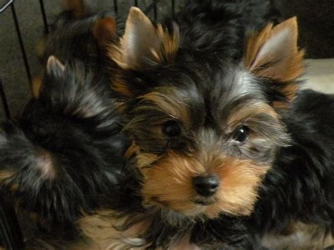 small puppies for sale small breed puppies for adoption breeds picture