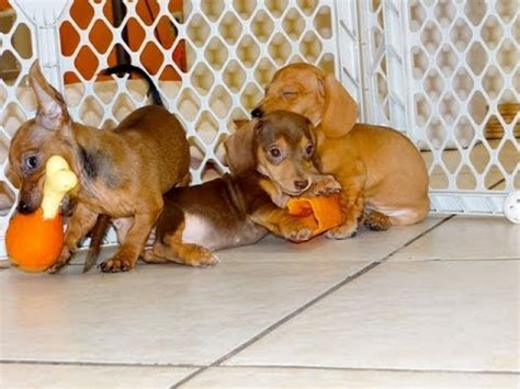 dachshund puppies for sale craigslist craigslist athens tx