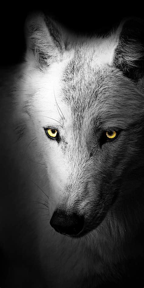 Wolf 4K Wallpaper, Black background, Wild, 5K, Animals, #1529