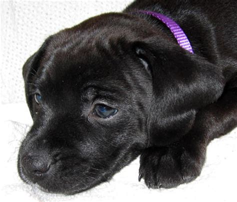 lab mix puppies for sale in ohio boxer lab mix puppies for sale ohio