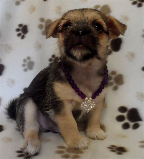 terrier pug cross lovely maltese terrier cross pug boy ready now manchester greater manchester