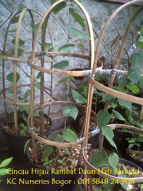 Bibit Tanaman Cincau Hijau Rambat kc nurseries bogor jual bibit tanaman cincau hijau dan