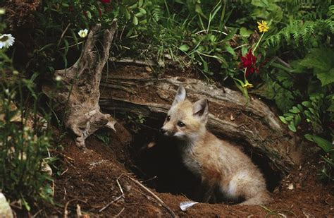 get rid of foxes in backyard how to get rid of fox dens hunker