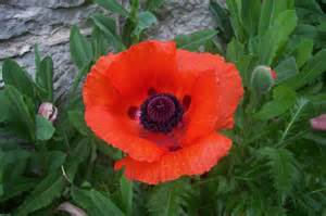 single poppy free stock photo public domain pictures