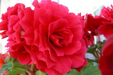 amazing rose flowers photo 34879910 fanpop