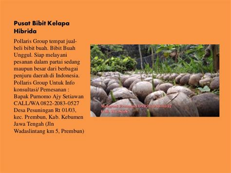 Tempat Jual Bibit Bebek Hibrida jual bibit kelapa hibrida di bali harga bibit kelapa