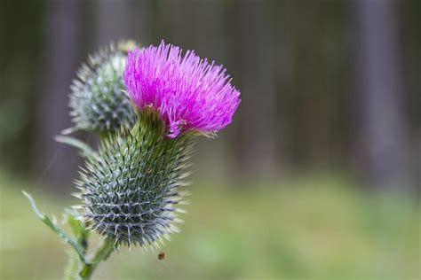 thistle color the thistle in color photograph by andreas levi