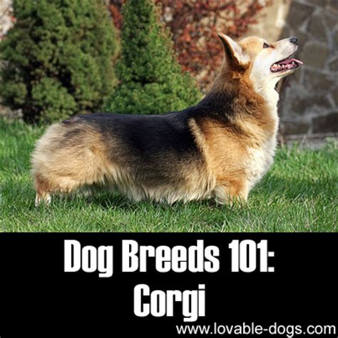 dogs 101 corgi lovable dogs breeds 101 corgi lovable dogs
