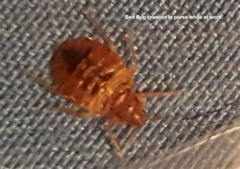 bed bugs at work bed bug crawled into purse at work