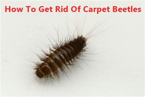 how to get rid of carpet beetles in my bedroom how to get rid of carpet beetleoths carpet vidalondon