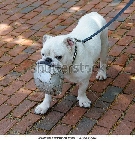 soccer pugs pug with soccer stock photo 43508662 pugs bulldogs and