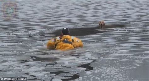 ma golden retriever rescue of crews rescuing trapped golden retriever from icy charles river