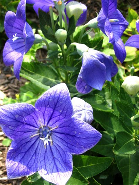 Balon Flower perennials that sun diy
