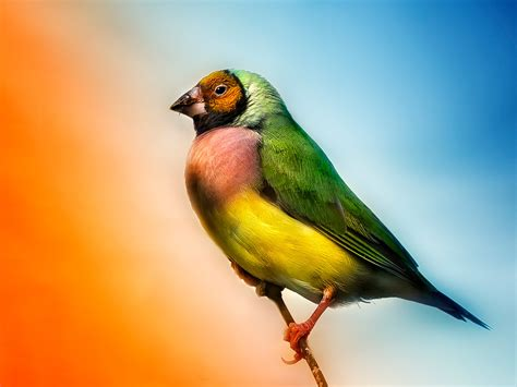 download birds finch wallpaper 1600x1200 wallpoper 320918