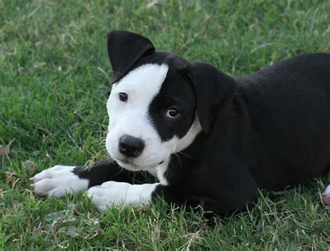 puppy pit bull black and white pit bull puppies