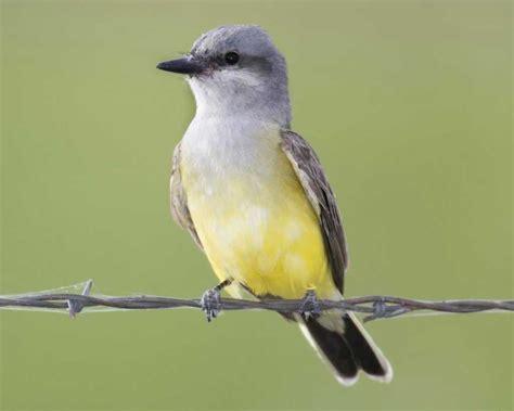 western kingbird audubon field guide