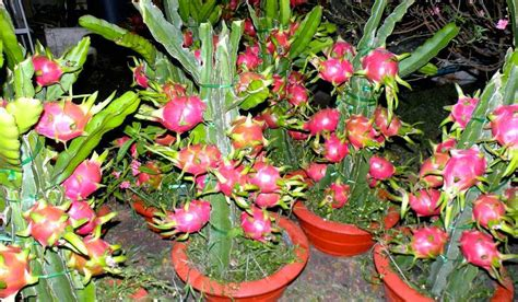 Jual Bibit Buah Naga Merah harga jual bibit buah naga merah murah samudrabibit