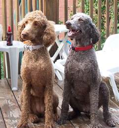 standard poodle hair styles 1284d1236266542 masculine cuts ginger ted jpg 800 215 860