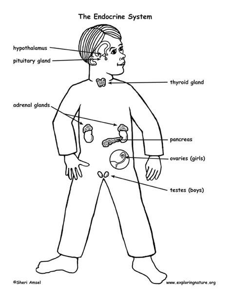 diagram of endocrine system diagram of endocrine system www imgkid the image