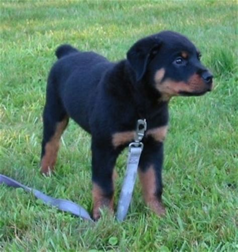 5 month rottweiler puppy rottweiler puppies 5 months www pixshark images galleries with a bite