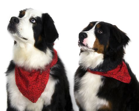 white bernese mountain bernese mountain dogs on a white background wallpapers and images wallpapers
