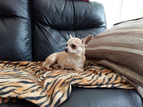 Small Dogs Home Walsall Chihuahua Boy Smalldogrescue Walsall West Midlands
