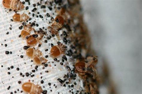 where can bed bugs live where do bed bugs come from bed bug facts