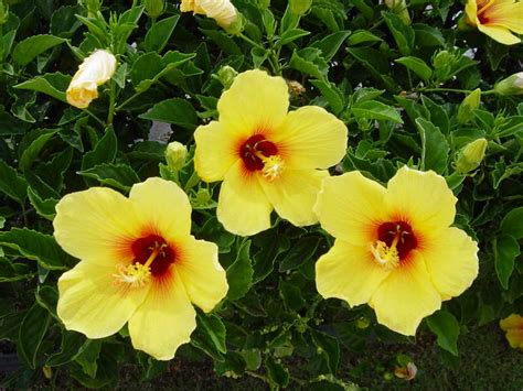 which state has a hibiscus hibiscus flowers pictures hawaiian hibiscus flowers 3