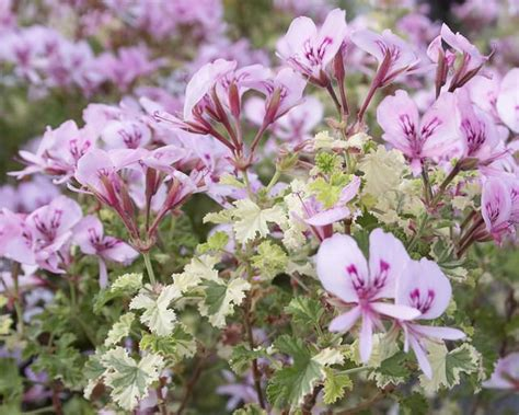 best scented geranium 72 best images about scented geraniums are the best on greenhouses pots and