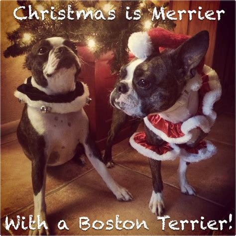 Boston Terrier Meme - 60 best boston terrier memes dogs and puppies too